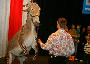 A zedonk - a cross between a zebra and a donkey - is one of the circus's more unusual animals.  The zedonk jumps up for praise at the end of his performance in the all access pre-show.