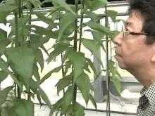 NCSU Professor Looks to Trees for Ethanol Source