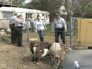 Town police and Wake County animal-control officials said that the 75 to 80 sheep were being neglected and about 30 were put down because they were too sick to recover.