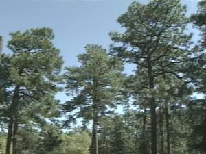 A group in Pinehurst is taking a stand for pine trees -- while trying to uproot plans for a traffic roundabout.