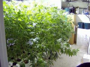 Deputies confiscated nearly 80 five foot tall plants from an upstairs bedroom of a Sanford residence.