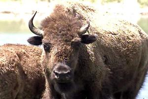 Buffalo Roam at Roxboro Man's Home