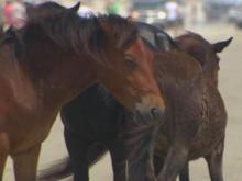 Corolla Wild Horses Face Uncertain Future