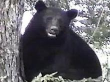 Growing Black Bear Population a Factor in Recent Sightings