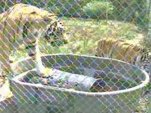 Tigers, Friends Need New Fridge