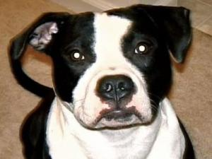 Mikey, a one-year-old pit bull, is among a high number of pets reported missing after the Fourth of July.