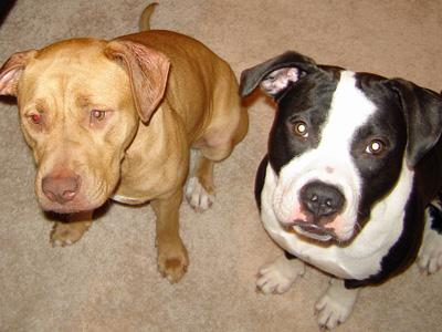 Mikey (right), who went missing on the Fourth of July, appears with Go-Go, also owned by Nicomma Locklear of Cary.