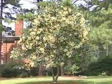 Rare Chinese Tree Blooms in Raleigh