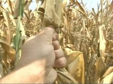 Drought, Heat Taking Toll on Crops