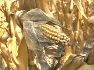 withered corn / drought / crop