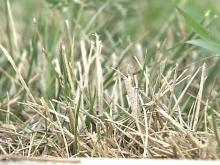 Lawns Take a Beating in Dry, Hot Weather