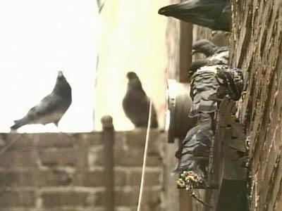 Roseboro Tries to Roust Pigeons From Roost