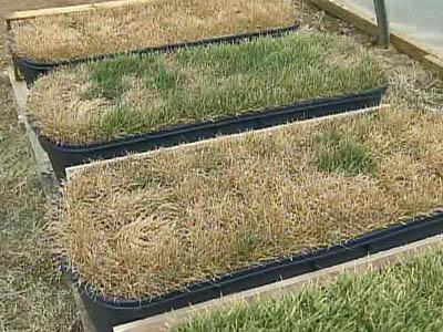 Researcher: Green Lawns Don't Need Lots of Water