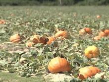 Heat Wave Could Hurt Pumpkin Farmers