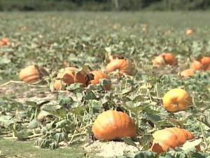 Pumpkin farmers have struggled with a variety of challenges this year from a lack of water to extreme heat.
