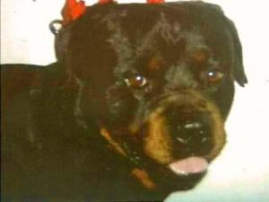 Nightmare, a 150-pound Rottweiler, was died from antifreeze poisoning on Tuesday, Oct. 2, his owner Marcia Travers said. More than 20 pets have been poisoned over three years in the Fox Chase development in Harnett County, residents say.