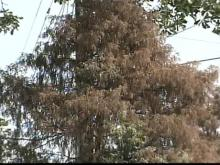 Drought Causing Distress for Trees