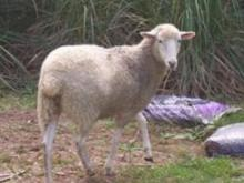 Sheep Thief Remains on Lam After Animal Located
