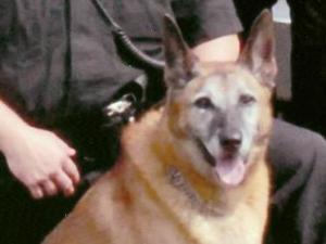 Wake County K-9 Thor, whose death the Wake County Sheriff's office announced Monday, Jan. 14, 2008. His handler was Deputy Roy Wilbourne.