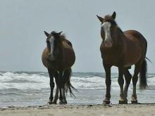 Outer Banks Wild Horses, Corolla wild horses