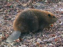 Bounty Hunters Busy as Beavers