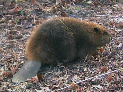 Beaver generic
