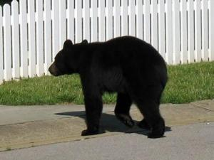 A resident took this photo Sunday of the bear in the Harrington Grove neighborhood in north Raleigh. (Photos courtesy of David DeVerter)