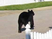 Black bears on the move in Wake and Durham counties