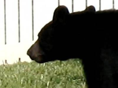 A resident took this photo of the bear in the Harrington Grove neighborhood in north Raleigh in May 2008. (Photo courtesy of David DeVerter)