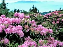 Rhododendrons a reminder of Hugh Morton's love for the mountains