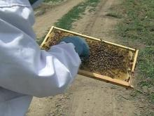 Rented bees are all the buzz on produce farms