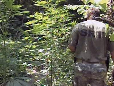 At least 5,000 plants were discovered growing near Hollie Pines and Holly Springs roads in Harnett County.