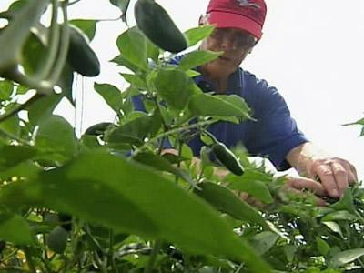 Franklin County farmer John Volmer takes a look at his jalapenos.