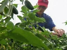 Ag commissioner: N.C. peppers are safe
