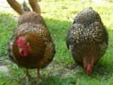 NC salmonella outbreak linked to backyard chickens