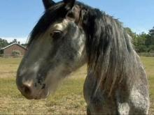 Economic woes leave malnourished horses