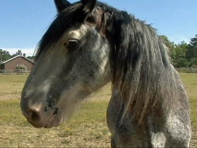 Econmic woes leave malnourished horses