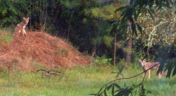 Pictures of coyotes outside of a Wake Forest home. (photos courtesy of Ed Schwerin)