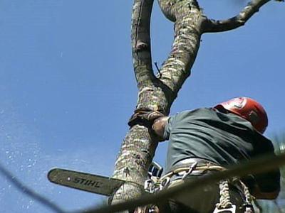 An Arbormax Tree Service employee cuts down a tree.