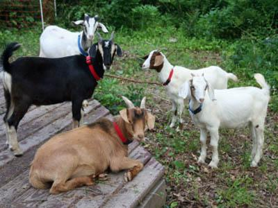 Some of the herd eating weeds and brush for The Goat Patrol. (Image from www.thegoatpatrol.com)