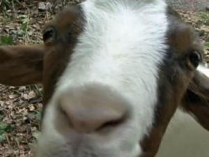 Durham goats landscape yards