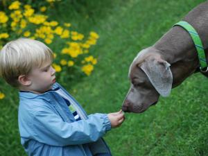 "Hayden Best, 2, of Apex plays with ""Duncan,"" a 4-year-old Weimaraner. ""Duncan"" is among 100 finalist's in Milk-Bone's national contest to select a spokesdog. (Photo courtesy of Jessica Best)"