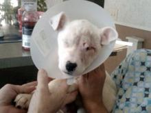 lucky dog surgery to remove punctured eye. found tethered to tre