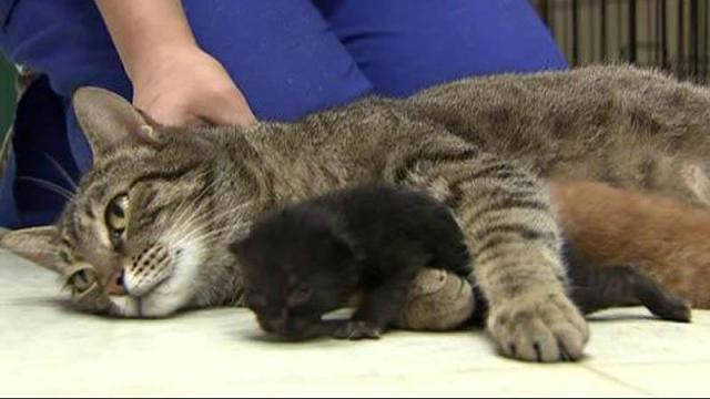 Alley Cat, a stray living at a Dunn veterinary clinic, has become a surrogate mother to four abandoned kittens.
