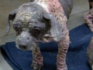 A Wilson County dog breeder was charged with animal cruelty in August 2008 after several sickly Shih Tzus were seized.