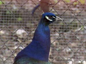 One of Gary Klinefelter's pet peacocks.