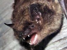 Bats create trouble at Franklinton apartment