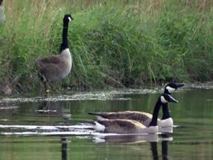 Geese glide across a pond in the Village of Pinehurst subdivision.