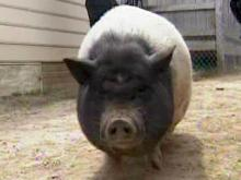 Some not hog wild over pet pig in Erwin