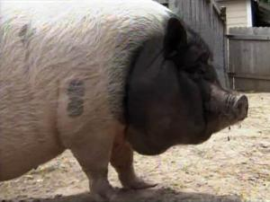 Clover, a Vietnamese pot-bellied pig, lives with the Suggs family in Erwin.